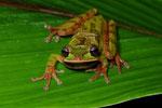 Costa-Rica-Laubfrosch (Smilisca phaeota)