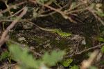 Riesensmaragdeidechse (Lacerta trilineata major), Weibchen