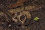 Schädel eines Mantelbrüllaffen (Alouatta palliata)