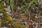Aspisviper, Weibchen