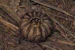 Samenkapsel auf dem Waldboden