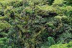 Bromelien und andere Epiphyten in einer Baumkrone