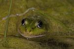 Wasserfrosch (Pelophylax lessonae/esculentus)
