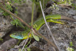 Smaragdeidechsen-Weibchen mit blauer Kehle