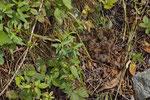 Rediviper (Vipera a. francisciredi), Weibchen beim Sonnenbad nach einem Gewitter