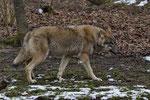Wolf (Canis lupus), Tierpark Dählhölzli, Bern