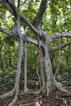 Baum im Trockenwald, Parque Nacional Santa Rosa