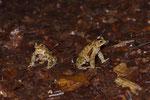 Erdkröten-Männchen auf Brautschau