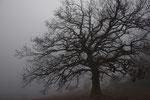 Flaumeiche im Nebel