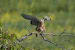 9. Mai: Paarung auf dem Kirschbaum. Zu diesem Zeitpunkt lagen bereits 5 Eier im Nistkasten.