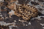 Südliche Sand- oder Hornotter (Vipera a. meridionalis), Jungtier