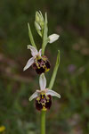 Hummelragwurz (Ophrys holoserica)