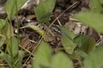 Halbwüchsiges Zauneidechsen-Weibchen