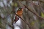 Kolibri (vermutlich eine Zimtbauchamazilie, Amazilia rutila)