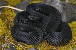 Schwarzes Weibchen aus dem Berner Oberland