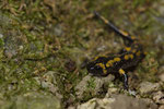 Feuersalamander (Salamandra s. terrestris), frisch metamorphosiertes Jungtier