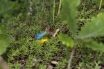 Prächtig blau gefärbtes Smaragdeidechsen-Männchen