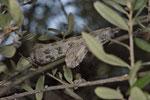 Milosotter auf einem Olivenbaum