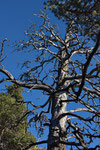 Föhrenskelett (Pinus mugo)