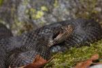 Fast jedes Tal hat einen anderen Typus schwarz gefärbter Vipern. Hier ein Tier aus der Südschweiz