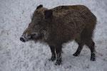 Wildschwein (Sus scrofa), Tierpark La Garenne, Le Vaud