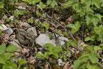 Schlingnatter-Weibchen beim Sonnenbad