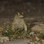 Männliche Kreuzkröte hält Ausschau nach paarungswilligen Weibchen