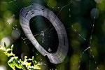 Netz der krebsförmigen Stachelspinne