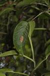 Nest einer Mörtelbiene (Megachile)