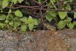 Östliche Smaragdeidechse (Lacerta viridis meridionalis), Jungtier