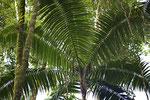 Palme im Regenwald
