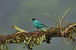 Kappennaschvogel (Green Honeycreeper, Chlorophanes spiza), Männchen