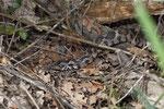 Bergotter-Weibchen beim Verlassen des Verstecks