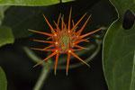 Blüte im Parque Nacional Cahuita