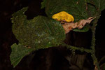 Greifschwanz-Lanzenotter (Bothriechis schlegelii), Jungtier
