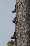Eichhörnchen (Sciurus vulgaris), Jungtiere