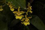 Lluvia de oro (Oncidium stenotis)