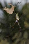 Goldene Seidenspinne (Nephila clavipes)