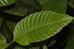 Blatt im Regenwald