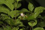 Rotaugenlaubfrosch (Agalychnis callidryas), rufendes Männchen