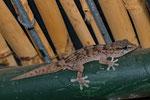 Gestreifter Kanarengecko (Tarentola boettgeri hierrensis), El Golfo, El Hierro