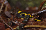 Gebänderter Feuersalamander (Salamandra s. terrestris)