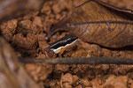 Talamanca-Pfeilgiftfrosch (Allobates talamancae)