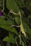 Gottesanbeterin (Mantodea)