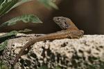 Kanareneidechse (Gallotia g. galloti), Männchen