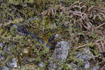 Pärchen der Alpenviper beim Paarungsvorspiel