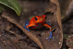 Blue-Jeans-Frog (Oophaga pumilio)