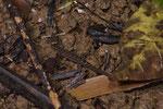 Kugelfingergecko (Sphaerodacytlus homolepis)