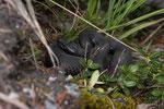 Trächtige, schwarze Alpenviper