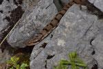 Aspisviper, Weibchen, Berner Jura